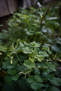 Collection of shamrocks with blurry background highlighted