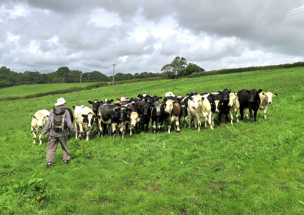 Time for elevenses and Clive keeps the cattle at bay