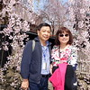 Akita Port Of Call - Kakunodate Cherry Blossom Street April 25th, 2017