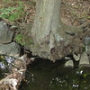 "Erosion can undercut trees in riparian areas.  This tree on Sycamore Creek was saved using ""root packing,"" in which the root ball of the undercut tree is packed with rocks and woody material to shore up the bank and support the tree.<br /> <br /> The Montgomery County Department of Environmental Protection (DEP) received a $2 million TE grant in 2000 to construct channel restoration and habitat improvements in Rock Creek Park. In an effort to restore and protect the Rock Creek watershed, which ultimately drains to the Chesapeake Bay, this project added modern stormwater controls to 730 acres to the Turkey Branch Stream subwatershed (approx. 30% of the drainage area). The project including work along 12,000 feet of the Turkey Branch Stream, along 13,400 feet of the Sycamore Creek, and along Joseph's Branch Stream. The Rock Creek watershed drains approximately 60 square miles.<br /> <br /> You can learn more about the DEP's work in this watershed by visiting their website at: <a href=""http://www.montgomerycountymd.gov/deptmpl.asp?url=/content/dep/restoration/home.asp"">http://www.montgomerycountymd.gov/deptmpl.asp?url=/content/dep/restoration/home.asp</a>"