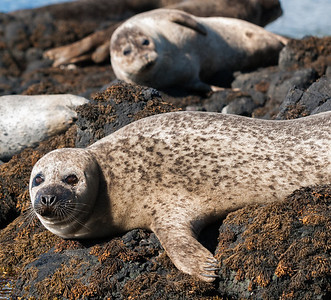 Seals at Dunvengan Castle
