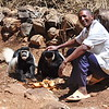 Local farmer giving food leftover to wild Colobus monkeys. Normally Colobus monkeys are shy but here they learned that there is no danger coming from humans.