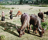 Water Buffalo at Na Thant