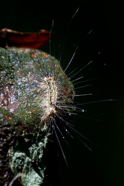 A very hairy caterpillar. Don't touch.