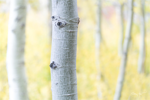 Aspen Abstract, Lundy Canyon, Eastern Sierra