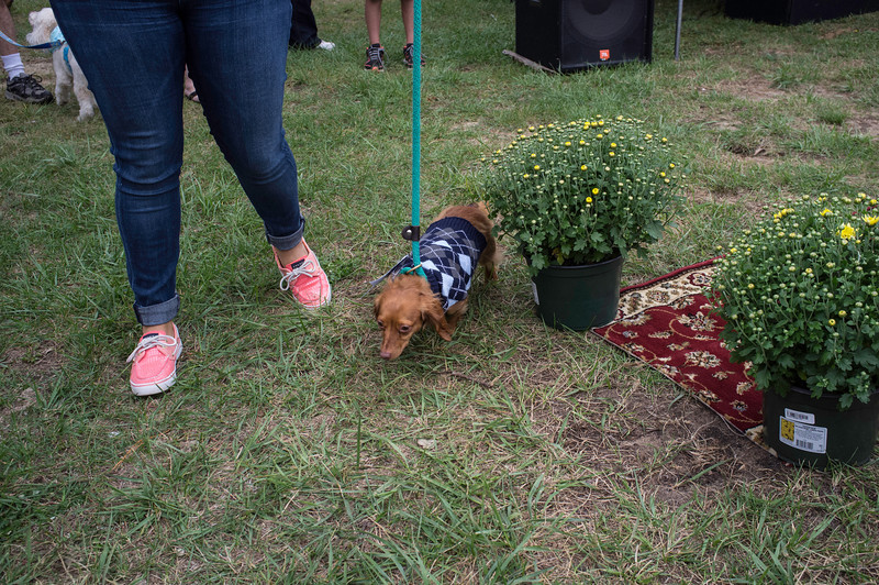 092212_Cape_Cod_Doxie_Day0185