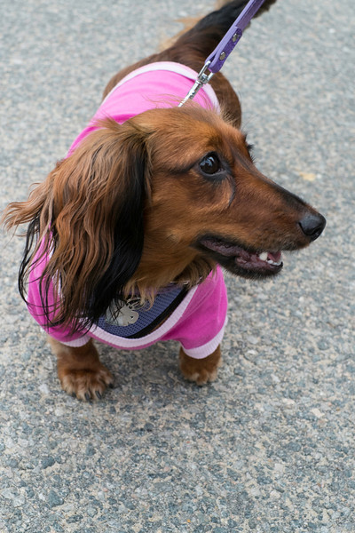092212_Cape_Cod_Doxie_Day0005