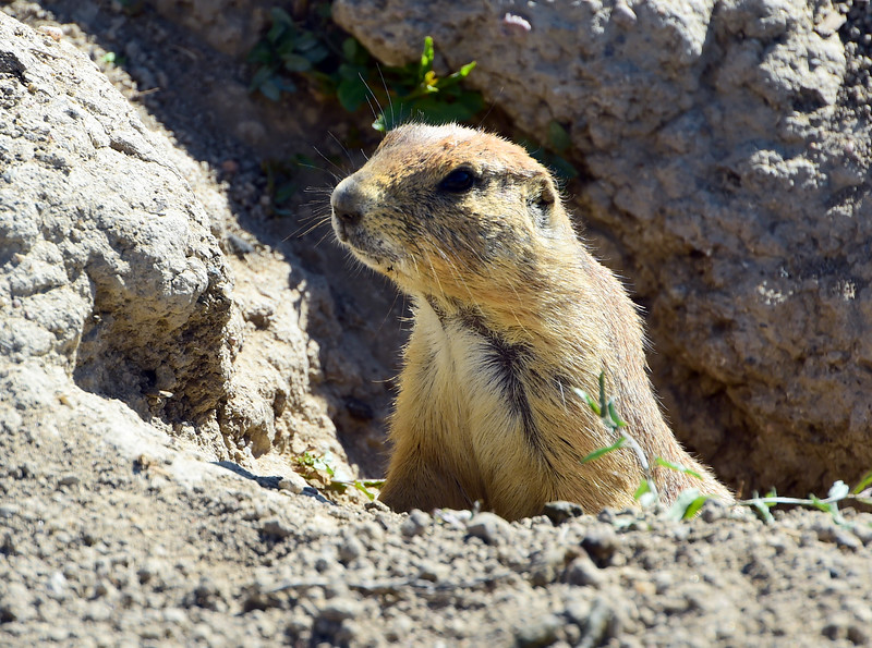 Prairie Dogs at Valmont