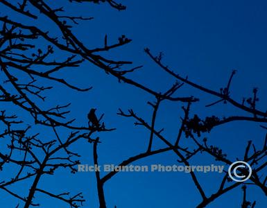 """"""" Blue Bird """""""