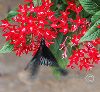 """ Black Moth """