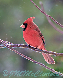 Winter time Male Cardinal