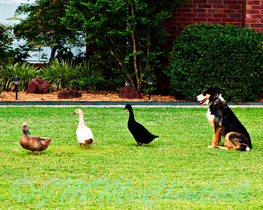 Dog has his ducks in a row!