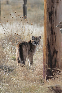 A cougar cub, one of two hanging out at a friend's ranch!