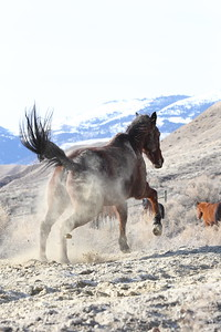 Hillbillie Willie rolling n' running in Owyhee, Idaho