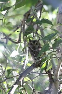 Screech owl, Idaho