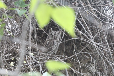 I have been looking for this Screech Owl nest for 10 years - I finally found it! - Owyhee, Idaho