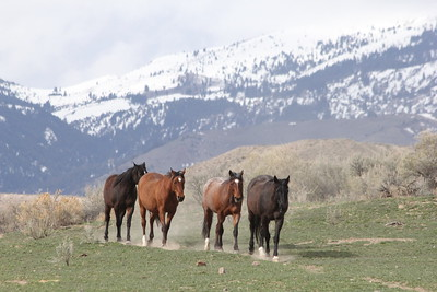 The Owyhee herd, Idaho