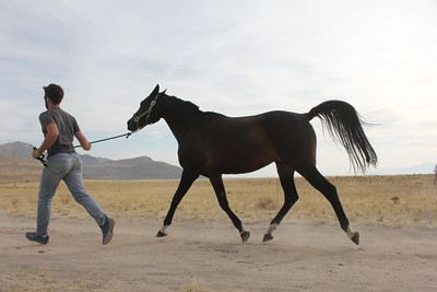 Trotting out for the vet check at the Antelope Island endurance ride, Utah