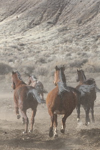 Wind makes the Owyhee herd frisky!