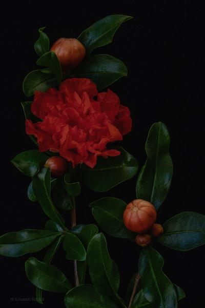 Robin's Pomegranate