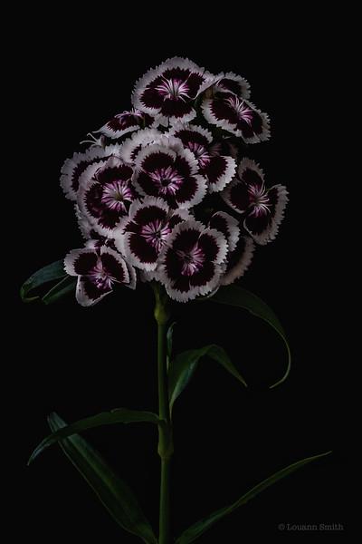 Dianthus Barbatus 'Stella Tenebris'