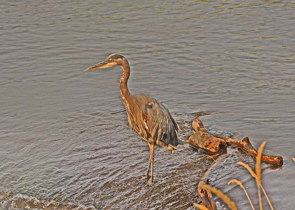 A Heron at Mill Creek Dam: 8-22-17