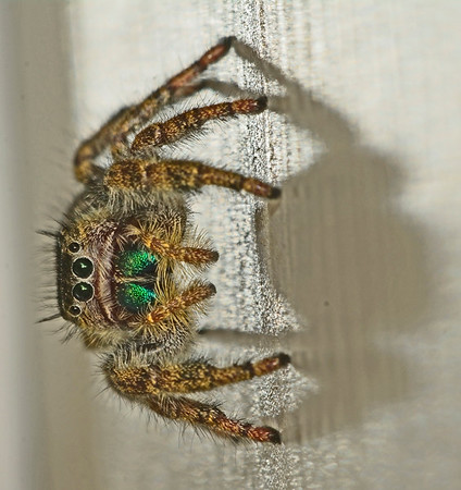 A Jumping Spider, 10-24-16