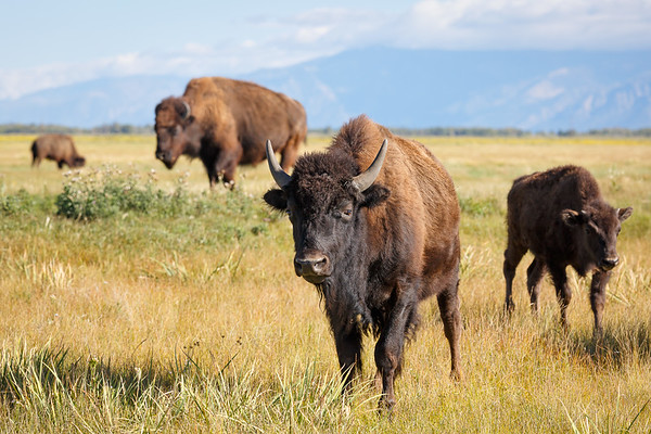 Bison on the Zapata Ranch