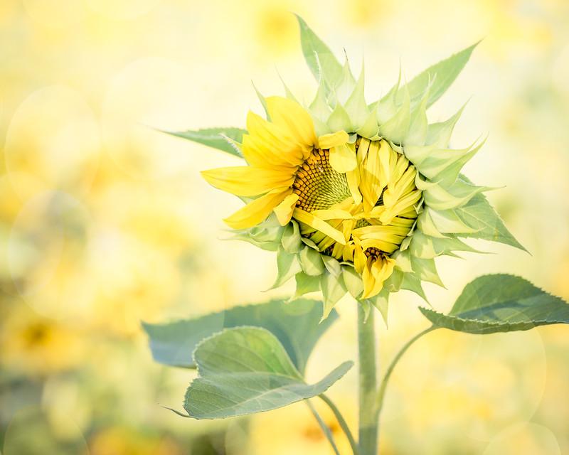 Sunflower Awakening