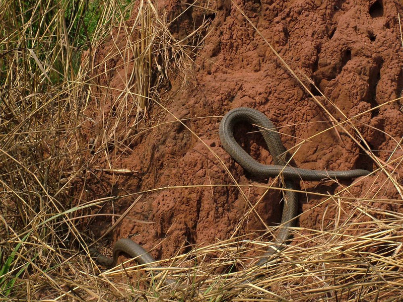 cobra longa