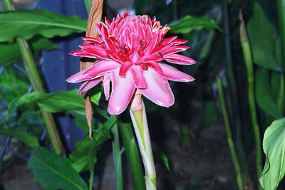 Rosa de Porcelana  Etlingera Elatior