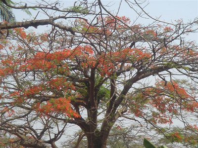 Delonix regia -Acacia Rubra Fabaceae/Leguminosae