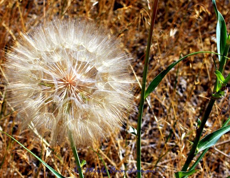 Meadow Salsify <br /> Tragopogon pratensis L.