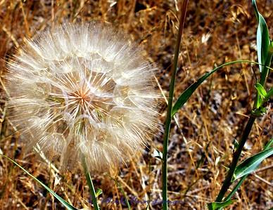 Meadow Salsify  Tragopogon pratensis L.