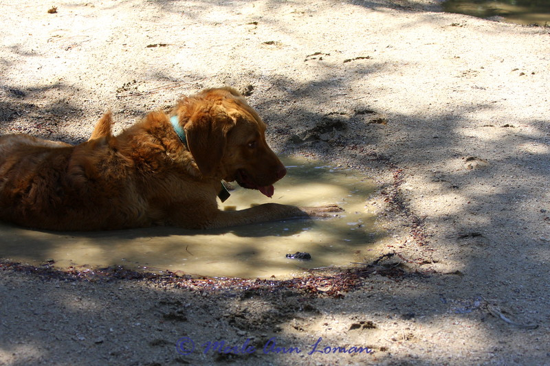 Freda in a puddle surrounded by elk tracks