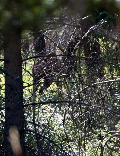 Elk through the timber