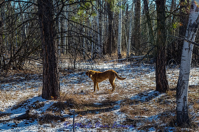 Happy 6th birthday to our Chessie, Freda. February near Bear Creek in the Bitterroot Valley.