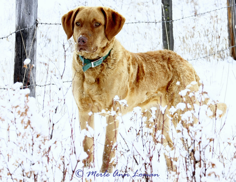 Freda in late January, 2010. She will be one year old on February 20. She thinks she is stalking/hiding behind the snow covered brush. Not! She loves to play on our walks. Isn't she beautiful?