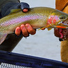 cutbow trout fascination