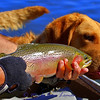 Chesapeake and rainbow trout on the Clark Fork River.<br /> Canon EOS 7D, 1/640/s, F/5.6, ISO: 200<br /> Taken west of Missoula, MT 9-25-10<br /> Freda, the Chesapeake is 1 1/2 years old and is trying to be the best dog ever as this photo is shot. She passed the test and the trout was released.