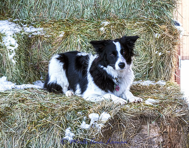 Stacy's Border Collie