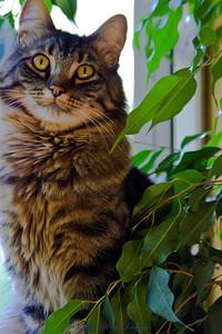 Jessa's cat in a window sill under a Ficus tree. July 2012