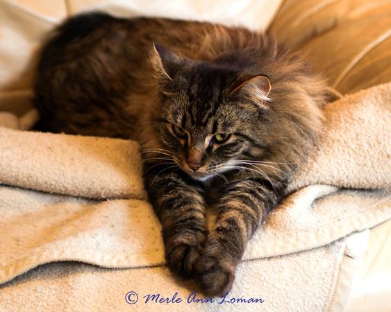 Vesper, Jessa's Maine Coon cat 2013