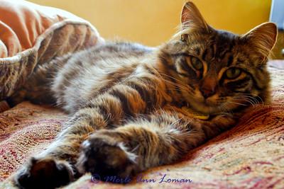 Vesper, Jessa's Maine Coon kitten