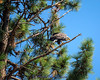 Bald Eagle on Ponderosa Pine tree