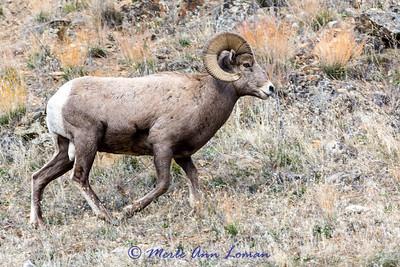 Bighorn Ram near Sula, MT Img_7367