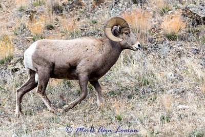 Bighorn Ram on the run