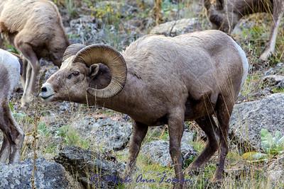 Bighorn Sheep in early November. Img_2371-2