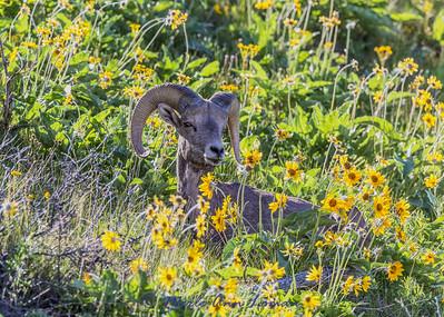 Bighorn Ram bedded down in Arrowleaf Balsamroot flowers IMG_5075