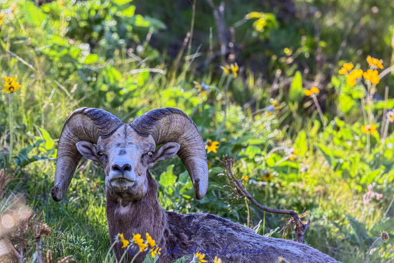 Bighorn Ram among Arrowleaf Balsamroot near Moise IMG_5058 - 5-21-2015 taken in May on a north slope.